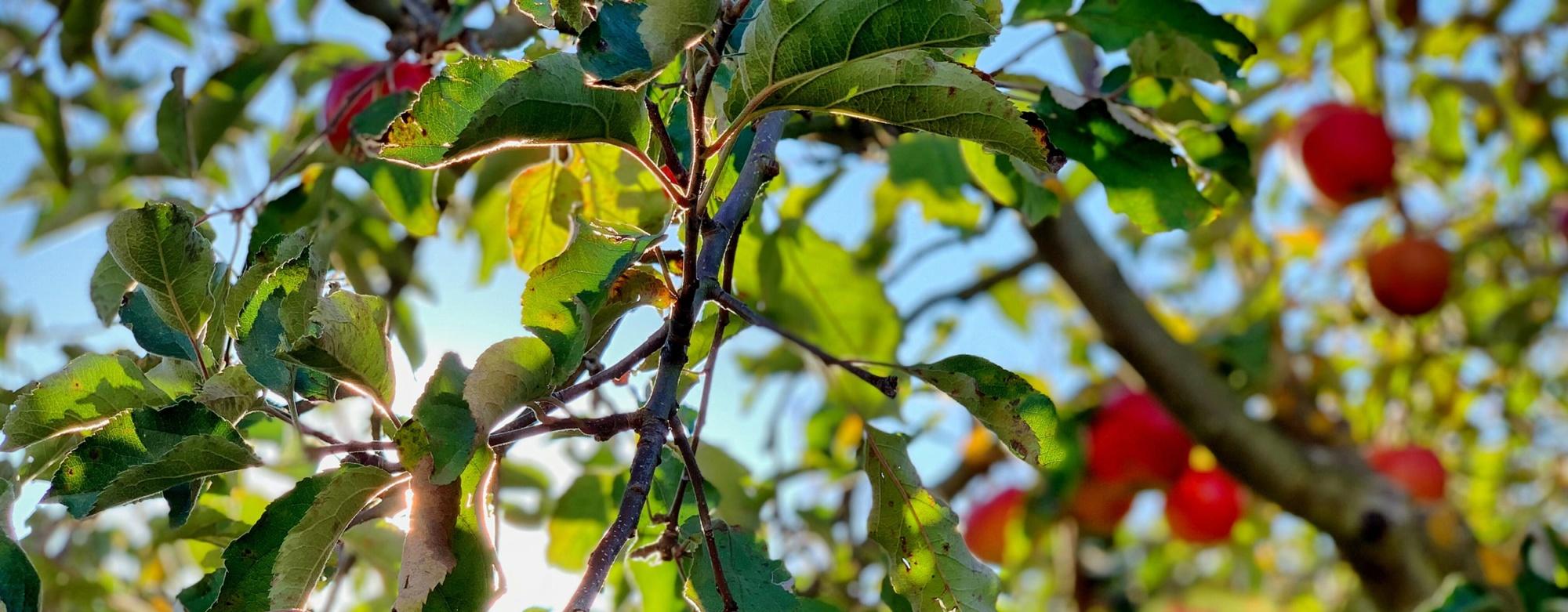 Pomme Joya - Une pomme haute en couleurs